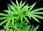 US report cites ganja farming in Saint Lucia
