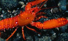 Lobster fishery closed; EC$5,000 fine per offence