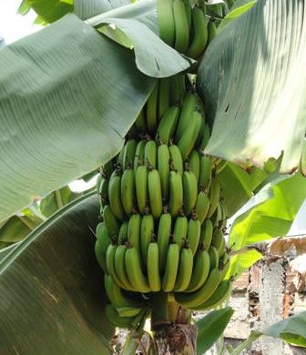 Banana Loading for Export Relocates to Port Castries
