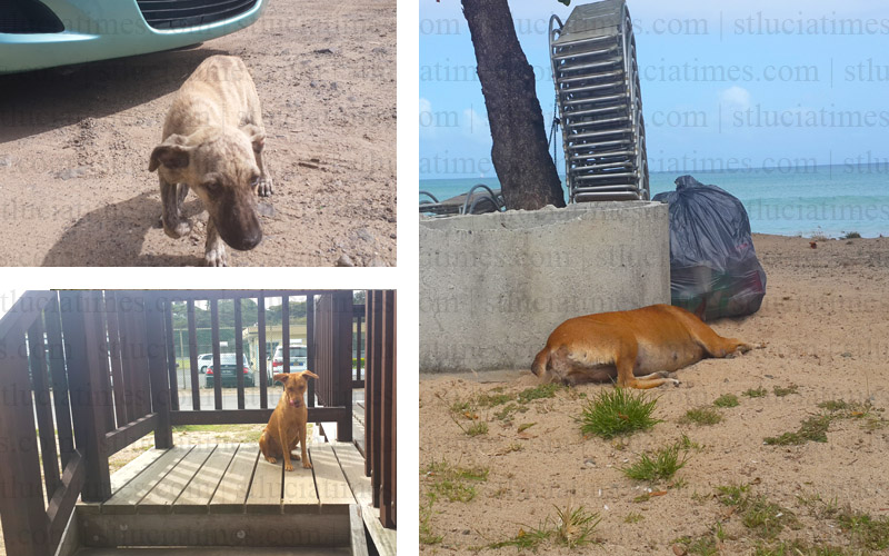 Stray dogs creating problems in Vigie - St  Lucia Times News