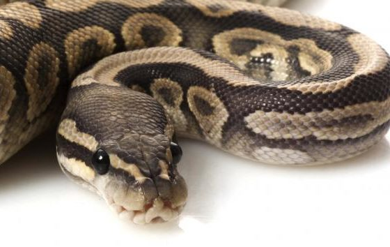 Indonesia: Body found inside python