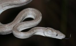 New boa constrictor species discovered on remote Caribbean island