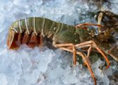 Lobster Fishery Opens