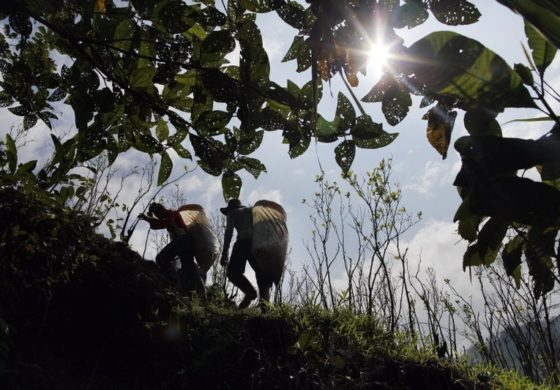 UN: Production of coca leaf surges in Colombia