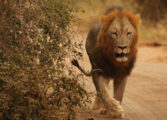 South Africa: Villagers warned as four lions escape