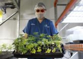 Puerto Rico betting on medical marijuana to help ease crisis