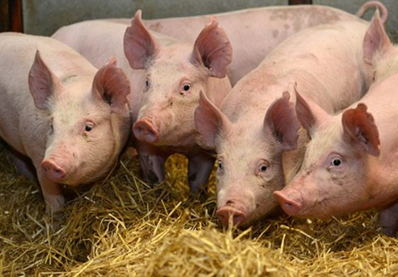 Pigs rescued from fire later served as sausage to firefighters