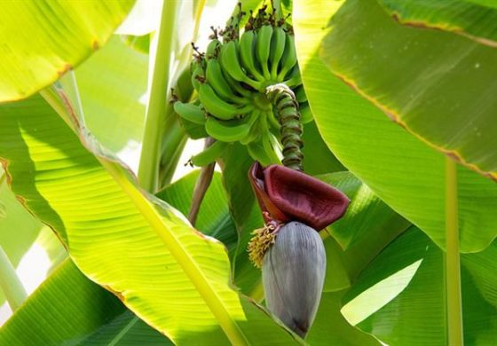 Taiwan assists banana farmers