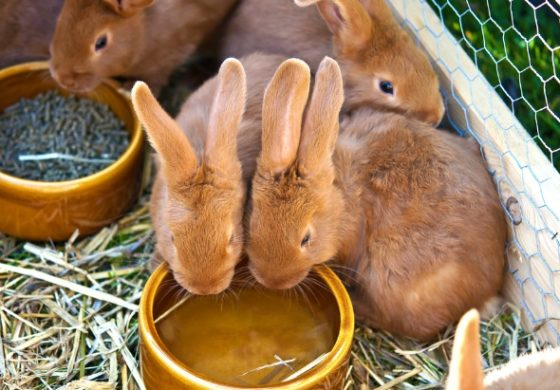 Rabbit protein answer for meatless Venezuelans?