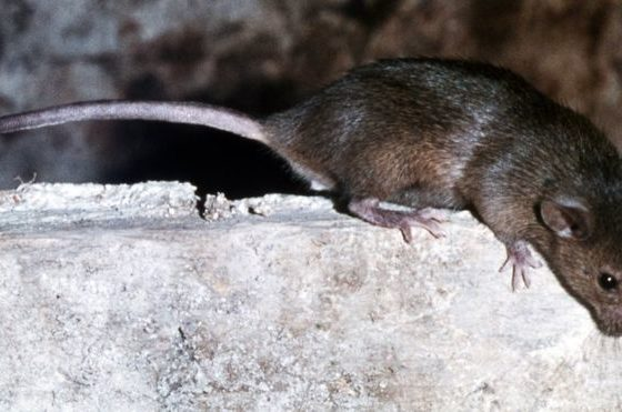 French girl attacked by rats
