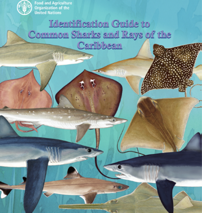 Identification Guide to Common Sharks and Rays of the Caribbean (Copyright FAO)