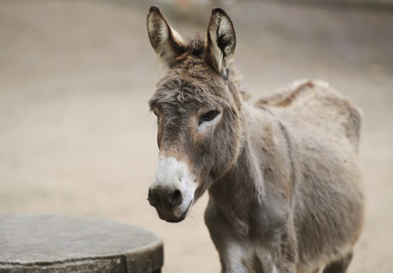 Barbuda: Donkeys out of control