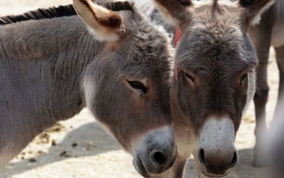Chinese demand results in massive slaughter of donkeys