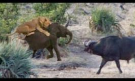 Buffalo herd rescues baby elephant from attacking lions