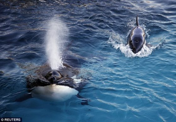World's first talking killer whale: Wikie the orca learns to say 'hello' and 'bye bye'