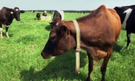 Bovines online: Farmers are using AI to help monitor cows