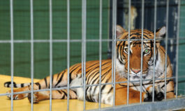 Caged Tiger at Florida high school prom causes uproar