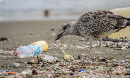 Starving seabirds 'full of plastic'