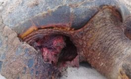 Stray dogs blamed for death of turtles on Vigie beach