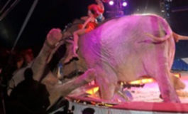 Terrified circus elephant topples into audience