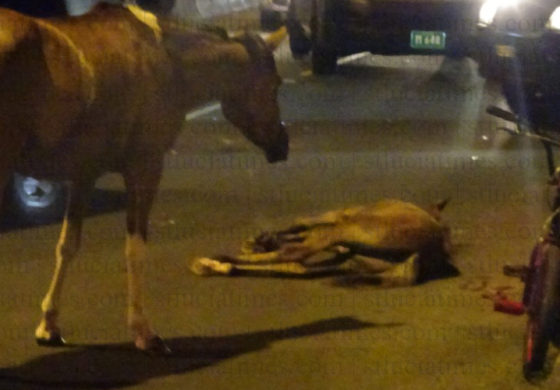 Horse injured in collision near Bisee entrance