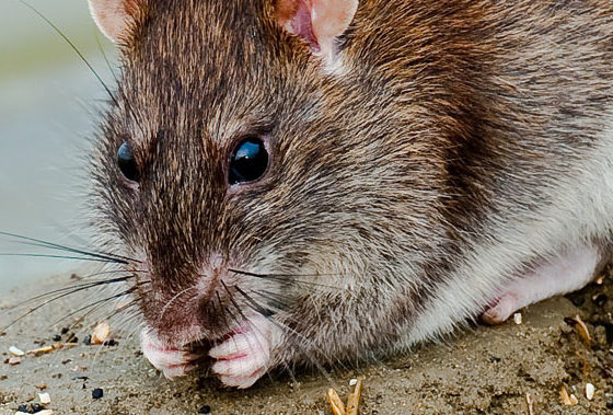 Chicago named 'rat capital' of the USA