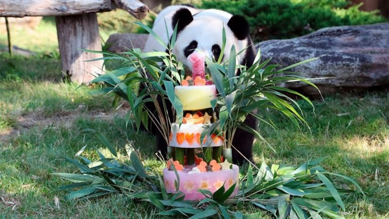 Panda Celebrates First Birthday Bash With Cake St Lucia Times News