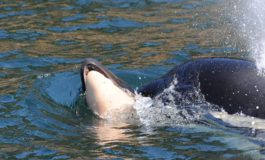 Killer whale's 'tour of grief' ends after 17 days