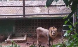 T&T Zoo says lions not starving
