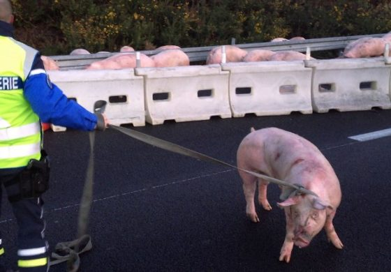 Pig massacre on French motorway as truck overturns