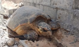 Stranded turtle rescued in Choc cemetery